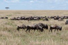 Roczna migracja na Masai Mara, Kenja, Afryka fotografia stock