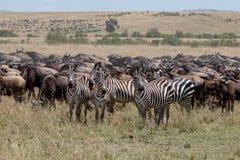 Roczna migracja na Masai Mara, Kenja, Afryka obrazy stock