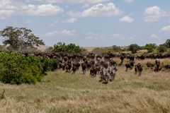 Roczna migracja na Masai Mara, Kenja, Afryka zdjęcie royalty free