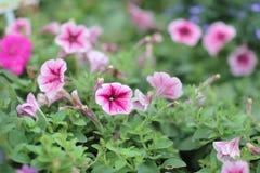 roczna ranek chwała, natury piękne fotografie zdjęcia stock
