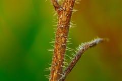roczna trawiasta roślina typowa Włoski półwysep Obrazy Stock