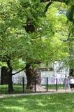 600 roczniaka dębowy drzewo w Kolomenskoye Wiosna Zdjęcia Royalty Free