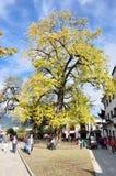 500 roczniaka GINKGO drzewo Fotografia Stock
