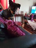 2 roczniaka samiec szczeniak Zdjęcia Royalty Free
