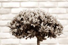 Roczników bonsai Zdjęcie Royalty Free