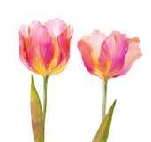 Roczników Różowi tulipany Obrazy Stock