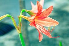 Rocznik Amaryllis kwitnie pastelowego kolor Kreatywnie wzór Obraz Stock