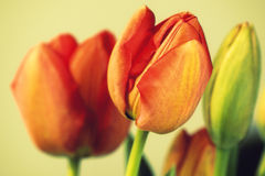 Rocznik czerwieni tulipany Zdjęcie Royalty Free