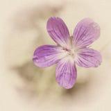 Rocznik fotografia śródpolny kwiat z adrą Zdjęcie Royalty Free