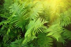 Rocznik fotografia bujny zieleni paproć Pteridium aquilinum Obraz Royalty Free
