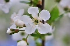 Rocznik fotografia czereśniowego drzewa kwiaty Zdjęcie Stock
