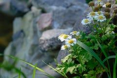Rocznik fotografia piękny chamomile kwiatów dorośnięcie Zdjęcie Stock