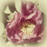 Rocznik fotografia róża z adrą Zdjęcie Stock