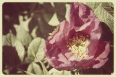 Rocznik fotografia róża z adrą Fotografia Stock