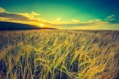 Rocznik fotografia zmierzch nad kukurydzanym polem przy latem Obraz Stock