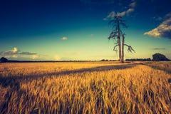 Rocznik fotografia zmierzch nad kukurydzanym polem przy latem Zdjęcia Royalty Free