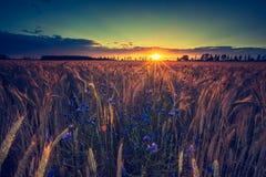 Rocznik fotografia zmierzch nad kukurydzanym polem przy latem Obraz Royalty Free