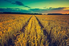 Rocznik fotografia zmierzch nad kukurydzanym polem przy latem Fotografia Stock