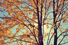 Rocznik jesieni klon Obrazy Royalty Free
