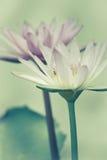 Rocznik lotosowi kwiaty Zdjęcie Stock