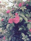 Rocznik róże Zdjęcia Stock