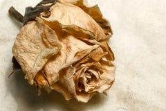 Rocznik suszący wzrastał Fotografia Royalty Free