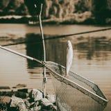 Rocznik tonujący łapał ryba, Pelecus cultratus, szabla karp, sabrefish, nad siecią rybacką, łowi tło Pojęcia szczęście zdjęcia royalty free