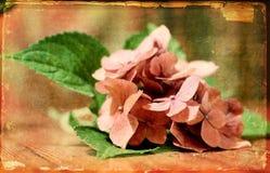 Rocznika hortense kwiat Zdjęcia Royalty Free