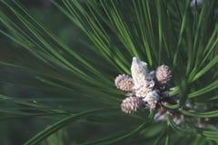 Rocznika makro- obrazek młody pinecone zdjęcia royalty free