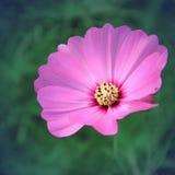 Rocznika styl kosmosów kwiaty Zdjęcie Stock