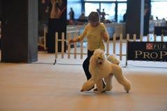 ROCZNY jawny międzynarodowy psi przedstawienie genua WŁOCHY, MAJ - 21 2016 - Zdjęcie Royalty Free