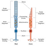 Rod and Cone cells Stock Images