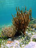 Rod corals in caribbean sea Royalty Free Stock Image