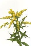 Rod dourado com flor amarela Imagens de Stock Royalty Free