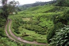 Rod nd tea plantation Royalty Free Stock Images