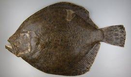 Rodaballo en el fondo gris, pescado Foto de archivo