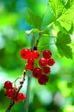 Rode aalbes Royalty-vrije Stock Afbeeldingen