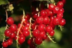 Rode aalbes Royalty-vrije Stock Foto's