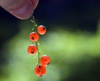 Rode aalbes royalty-vrije stock afbeelding