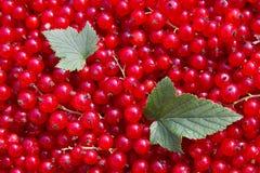 Rode aalbes stock afbeeldingen