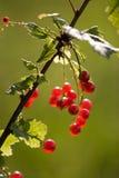 Rode aalbes Stock Foto