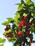 Rode aalbesbessen op een tak Royalty-vrije Stock Foto's