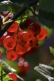 Rode aalbessen stock fotografie