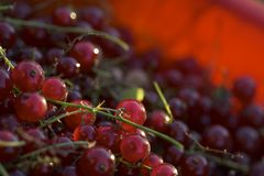 Rode aalbessen royalty-vrije stock fotografie