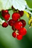 Rode aalbessen Stock Afbeelding