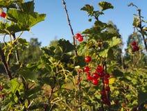 Rode aalbessen van Finland royalty-vrije stock foto