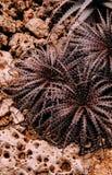 Rode aaragave op de grond van de woestijnrots in botanische tuin royalty-vrije stock afbeeldingen