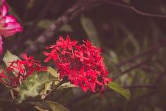 Rode aarbloem Het bloeien chinensis Ixora van koningsIxora Royalty-vrije Stock Afbeeldingen