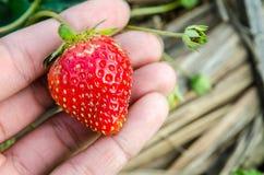Rode aardbeien Stock Fotografie