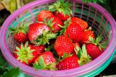 Rode aardbeien in de mand Stock Fotografie
